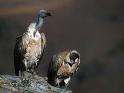 Wind power threat to vultures - Independent Online | Threats to raptors | Scoop.it