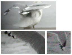 Surfbirds - Mew Gull Identification   Bird ID   Scoop.it