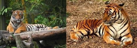 Les tigres bientôt réduits à deux sous-espèces ? | Biodiversité & Relations Homme - Nature - Environnement : Un Scoop.it du Muséum de Toulouse | Scoop.it