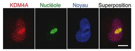 LBCMCP - Adaptation de la cellule aux conditions environnementales : quand l'épigénétique s'en mêle | Actualité des laboratoires du CNRS en Midi-Pyrénées | Scoop.it