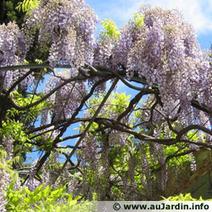 Glycine du Japon, Glycine de Chine, Wisteria floribunda, Wisteria sinensis : plantation au printemps | Côté Jardin | Scoop.it
