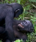 Nature | News 'Hippie chimp' genome sequenced - Nature.com | My Science | Scoop.it