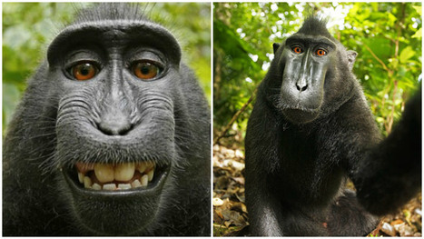 Wikimedia refuses to remove animal selfie because monkey 'owns' the photo | Wired | Scoop.it