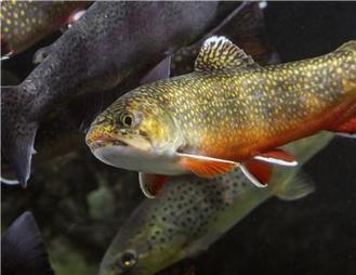 Tennessee Aquarium Conservation Institute Releasing Brook Trout - The Chattanoogan | Fish Habitat | Scoop.it