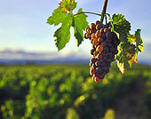 What Rising Temperatures May Mean for World's Wine Industry | Vitabella Wine Daily Gossip | Scoop.it