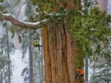 Giant Sequoias Grow Faster With Age - National Geographic | Forest Keepers Tree news | Scoop.it