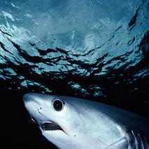 Sharks Slap Fish to Death | Amocean OceanScoops | Scoop.it