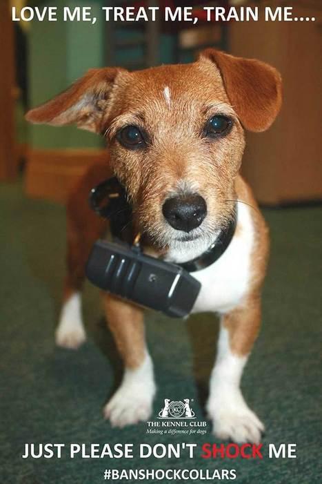 El Kennel Club ha pedido la prohibición total de los collares eléctricos - www.doogweb.es | Modern dog training methods and dog behavior | Scoop.it