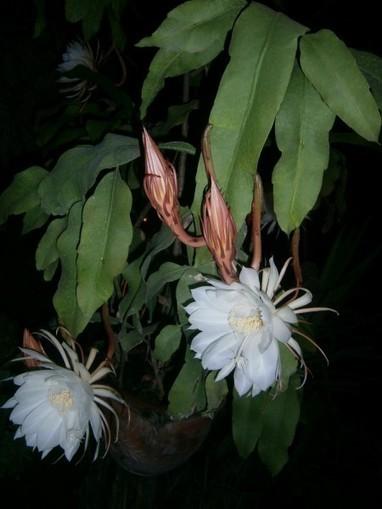 Epiphyllum oxypetalum – Dutchman's-Pipe Cactus, Queen of the Night, Orchid Cactus   World of Succulents   Cacti (Cactus)   Scoop.it