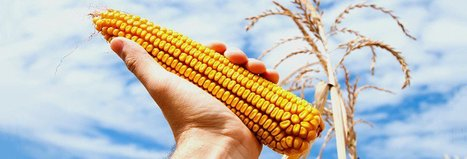 Genetically modified crops do not add to human health risks, study says | Grain du Coteau : News ( corn maize ethanol DDG soybean soymeal wheat livestock beef pigs canadian dollar) | Scoop.it
