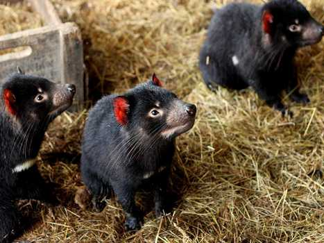 Tasmanian Devils Are Being Shipped To A Private Island To Save Them From Extinction   Devil Facial Tumour Disease   Scoop.it