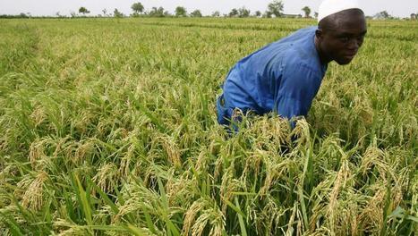 Rice Advice, une appli pour améliorer les rendements des riziculteurs africains - RFI | Je, tu, il... nous ! | Scoop.it