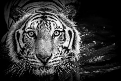 Highly Endangered 'Indochinese' Tiger Species Declared 'Extinct': Report | Wildlife Trafficking: Who Does it? Allows it? | Scoop.it