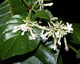 Cinchona - South American Remedy - Greenchedy | Herbs And Herbal Remedies | Scoop.it