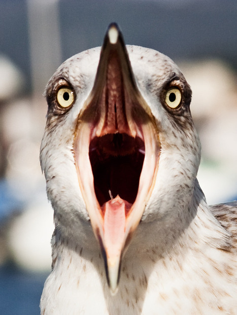 Seagull Scream   Birds, Birds, Birds   Scoop.it