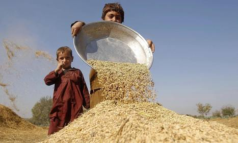 Global food security: could wheat feed the world? | Africa and Beyond | Scoop.it
