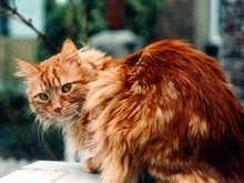 Pensez à soigner le pelage de votre chat - Education canine en Alsace - Alimentation animale - passion-dogs.com le blog | Educateur canin en Alsace - Etoile des bergers | Scoop.it