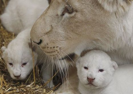 Adorable rare white lion triplets born in Poland | enjoy yourself | Scoop.it