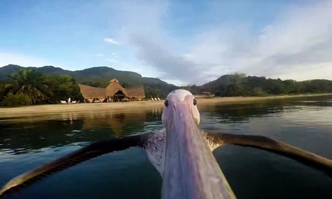 A Pelican With A GoPro Give Us The Feeling To Fly (video) | Animals | Scoop.it