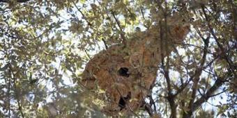 [27/08] Inquiétude après la découverte d'un énorme nid de frelons | Puget sur Argens | Scoop.it