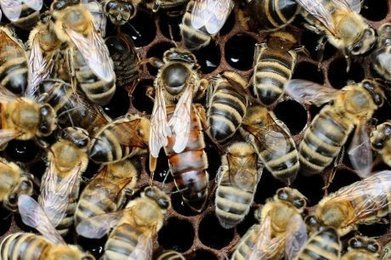 Disparition des abeilles : doit-on s'inquiéter pour notre alimentation ?   Agriculture en Dordogne   Scoop.it