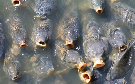Cultivated Carp 'Reverse Evolve,' Grow Scales Back | Food for Foodies | Scoop.it