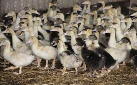 Grippe aviaire : les dernières zones de protection levées dans les Pyrénées-Atlantiques | Agriculture en Pyrénées-Atlantiques | Scoop.it