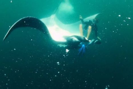 Tipping towards #extinction ~ #Watch a #MantaRay Give a Diver the Thrill of His Life! | Rescue our Ocean's & it's species from Man's Pollution! | Scoop.it