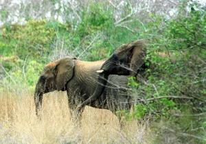 How N.Y. can stop elephant slaughter  | Illegal Wildife Trade | Scoop.it