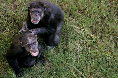 N.I.H. Moves to Retire Most Chimps Used in Research | Animals R Us | Scoop.it