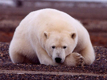 Check Out the New Polar Bear Cam | Environmental Science | Scoop.it