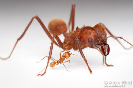 Biologie des Fourmis champignonnistes du genre Atta   EntomoScience   Scoop.it