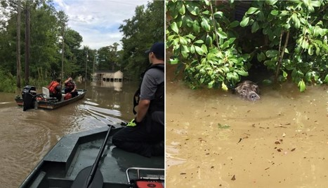 Heroes Are Saving Thousands Of Animals In The Louisiana Floods | Compassion in Action | Scoop.it
