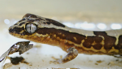 Water Automatically Leaps Off A Gecko's Self-Cleaning Skin | Amazing Science | Scoop.it