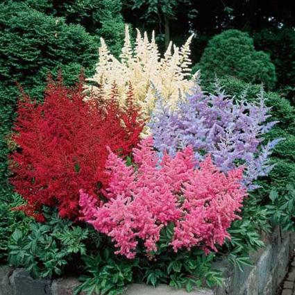 Astilbe Bargain Bag | Springhill Nursery Gardening | Scoop.it