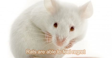 Rats Feel Regret After Making Wrong Choices | Biotech and Beyond | Scoop.it