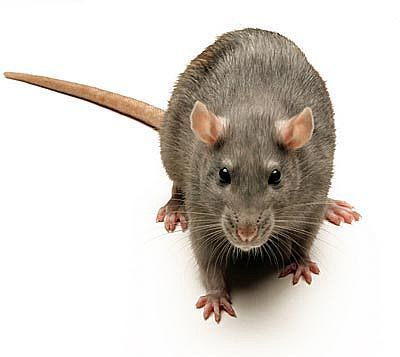 Deric Bownds' MindBlog: Empathy in rats - a great video | Psychology and Brain News | Scoop.it