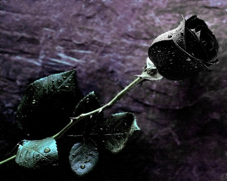 Black Rose Wallpapers | emily lily | Scoop.it