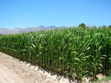 Insects, not people, will taste UA corn | Arizona Daily Star | CALS in the News | Scoop.it