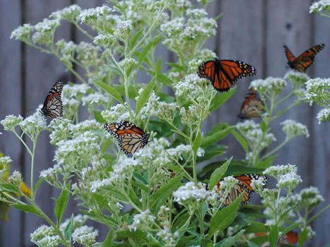 Monarch Butterfly Migration | Journey North Citizen Science Project Tracks Spring and Fall Monarch Butterfly Migration | EDUC230 Midterm | Scoop.it