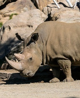 5 alleged rhino poachers in Limpopo court | What's Happening to Africa's Rhino? | Scoop.it