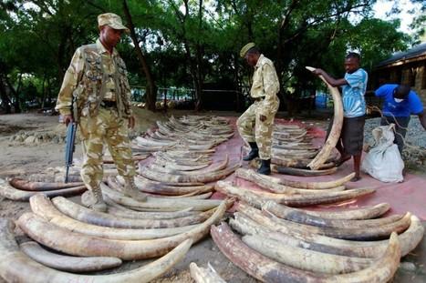 Ségolène Royal renforce l'arsenal contre le trafic d'ivoire | Actualités écologie | Scoop.it