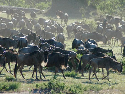 African Wildlife Foundation Welcomes Government of Tanzania's Evolving Position on Serengeti Road   May geo 152   Scoop.it