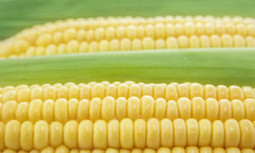 France Stands Up to Monsanto, Bans Seed Giant's GMO Corn ...   food   Scoop.it