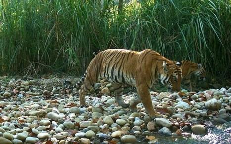 Cohabitation possible entre les tigres et les hommes au Népal | The Blog's Revue by OlivierSC | Scoop.it