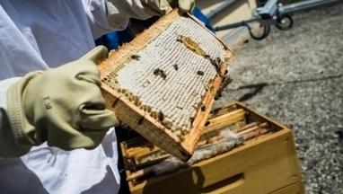 Bientôt un million d'abeilles dans les rues de Dijon | Abeilles, intoxications et informations | Scoop.it