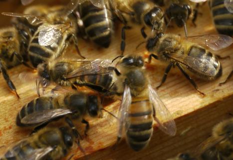 Les abeilles perdent la tête en présence de certains pesticides | ALTERAPI | Scoop.it