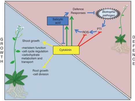 Should I fight or should I grow now? The role of cytokinins in plant growth and immunity and in the growth–defence trade-off | Cereal and Biotrophic Pathogens | Scoop.it