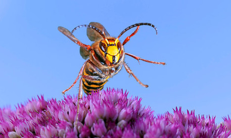 Hornet attacks kill dozens in China | Sustain Our Earth | Scoop.it