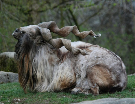 Markhor: The National Animal of Pakistan   ProBloggerTricks   Scoop.it